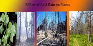 effects of acid rain on plants